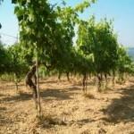 Il Roero: un terrior ad alta vocazione vitivinicola.