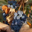 Ultimi giorni di vendemmia: le uve a bacca nera