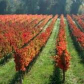 Quale di questi non è un vitigno internazionale?